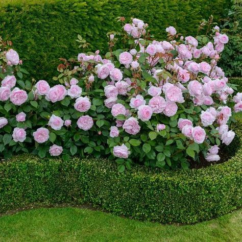 english rose flower garden