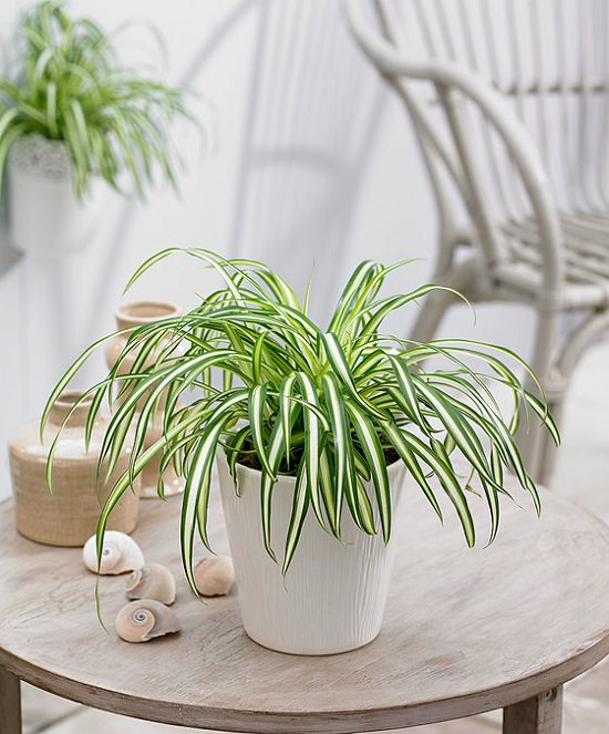Spider Plant on coffee table