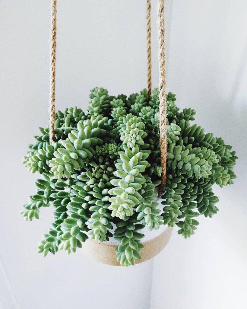 Morganianum Sedum