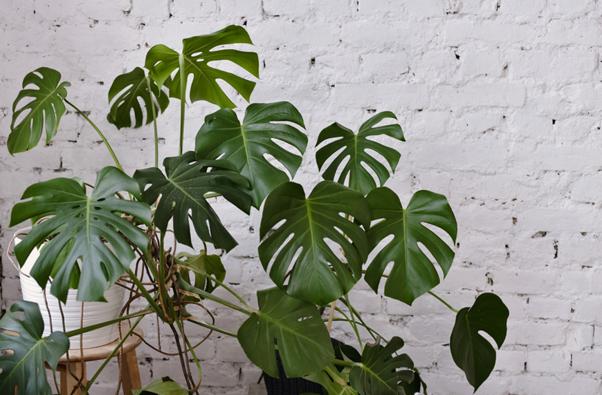Several Monstera are Hard to Get