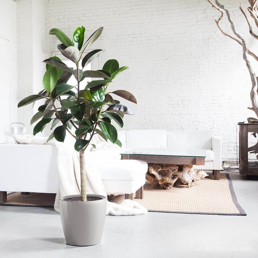 Rubber Plant - Purify Your Home
