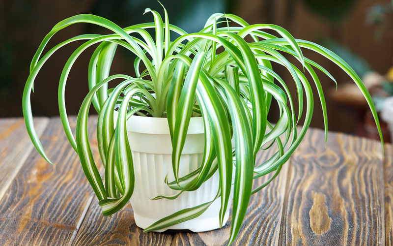 purify air with spider plant