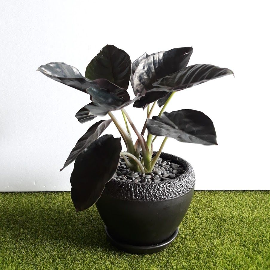 Alocasia Black Infernalis