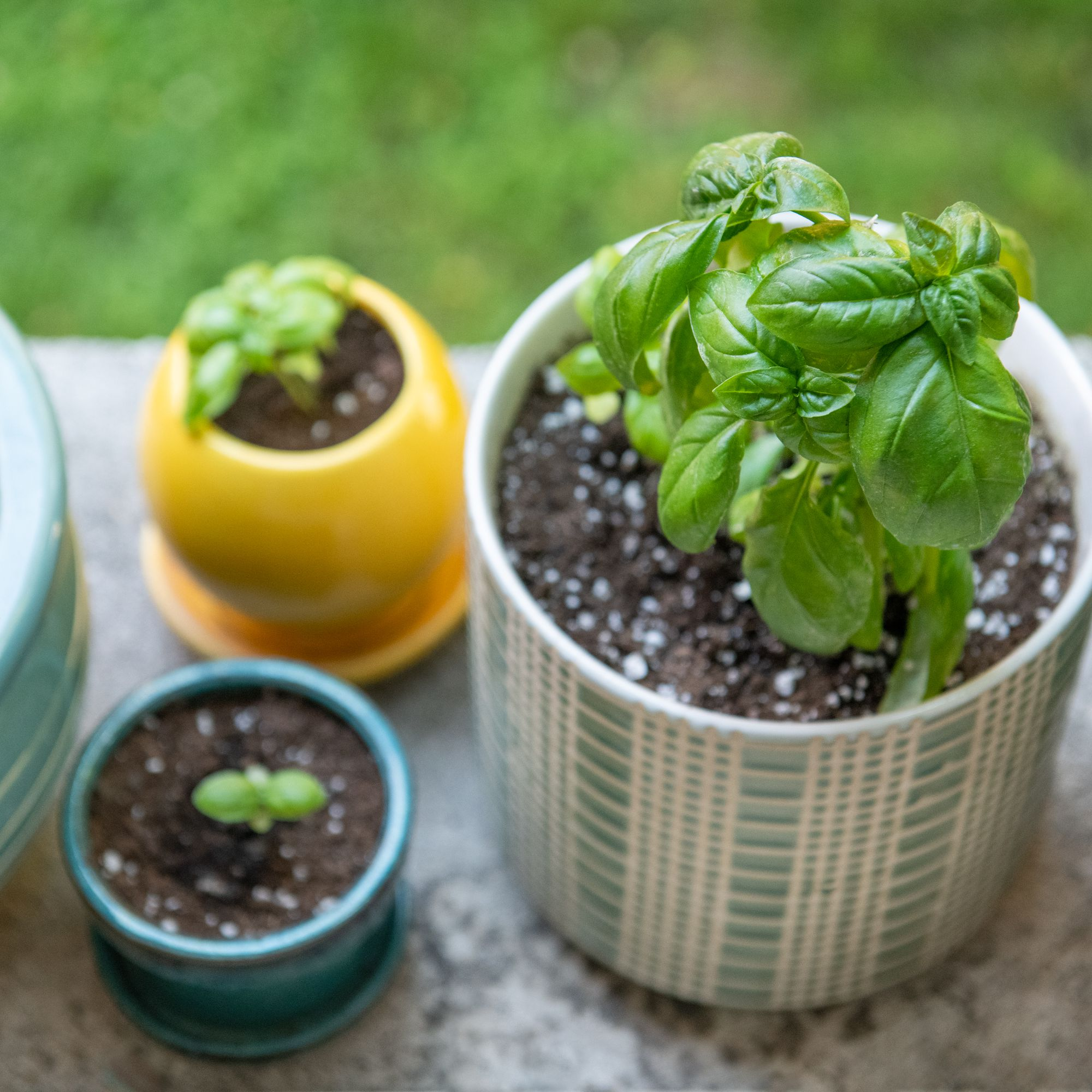 Basil - Ornamental Plants as Mosquito Repellent