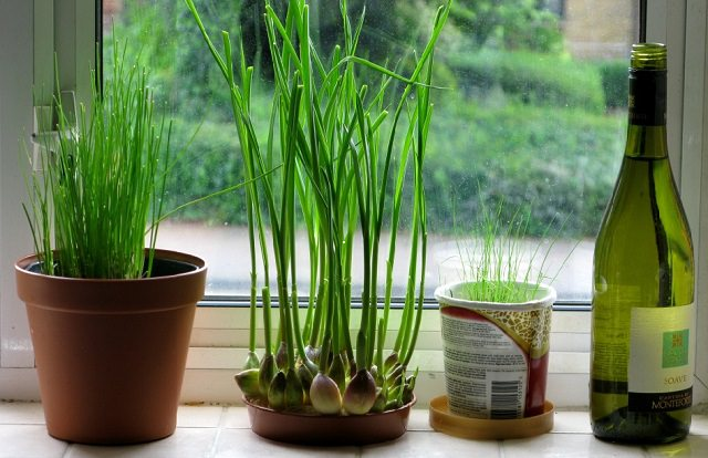 Garlic - Ornamental Plants as Mosquito Repellent
