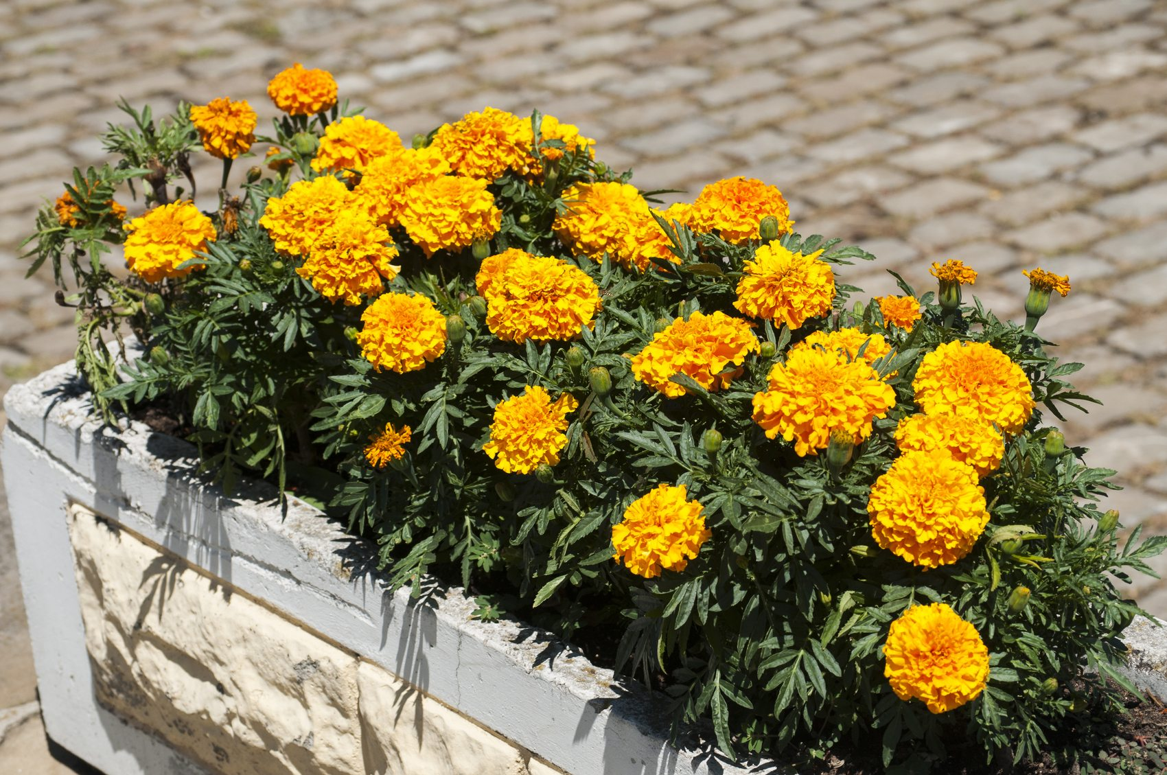 Marigold - Ornamental Plants as Mosquito Repellent