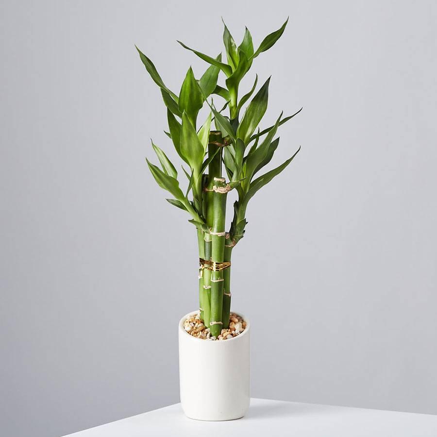 Small Bamboo