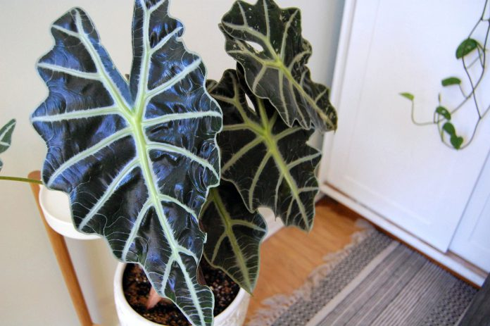 Types of Alocasia Plants