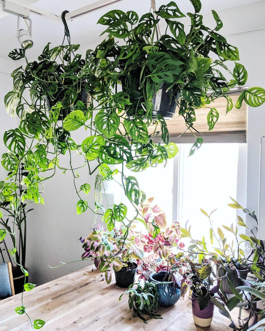 Hanging Plant to Grow Vigorously
