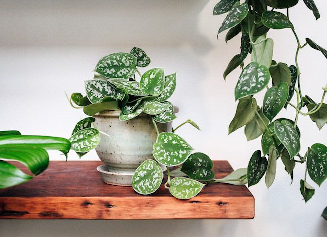 Easy Ways to Grow Scindapsus and How to Care It Indoor