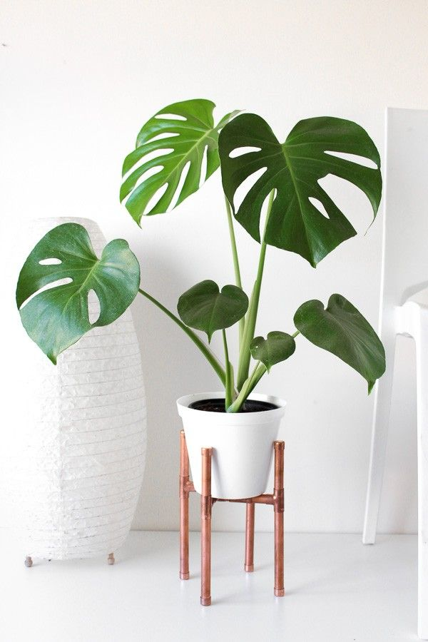 The Young Monstera Deliciosa in A Standing Planter