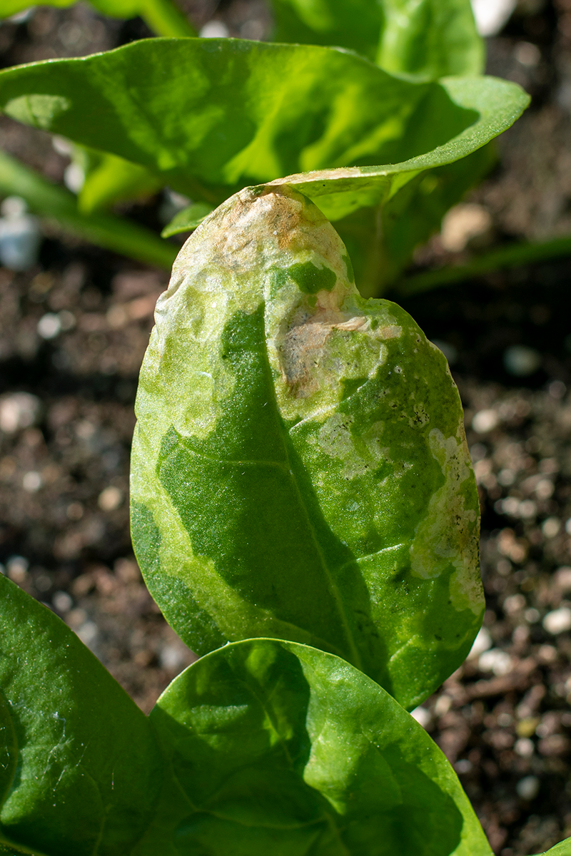 The Damage from Leaf Miners