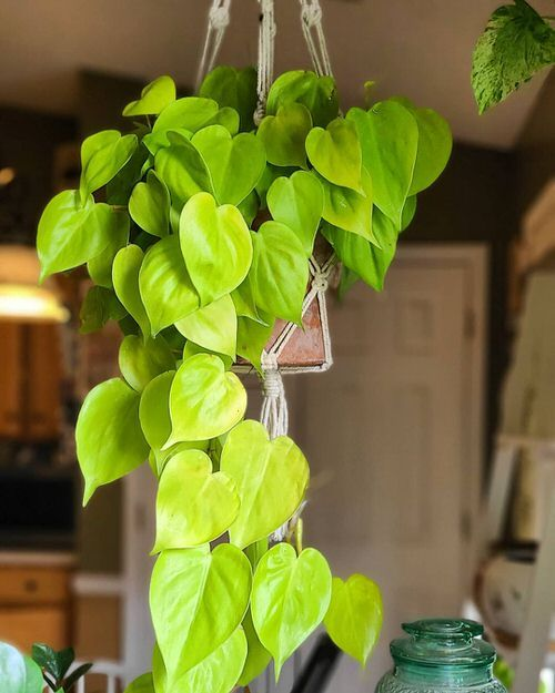 Lemon Philodendron