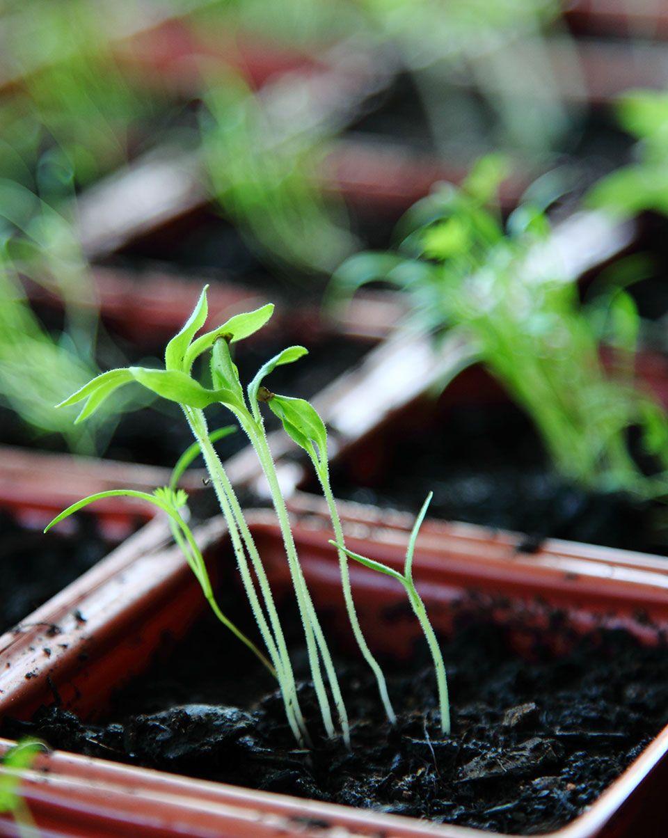 Watering Mistake for Seedlings
