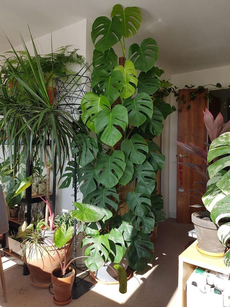 Wall Creeping Plant Monstera Deliciosa