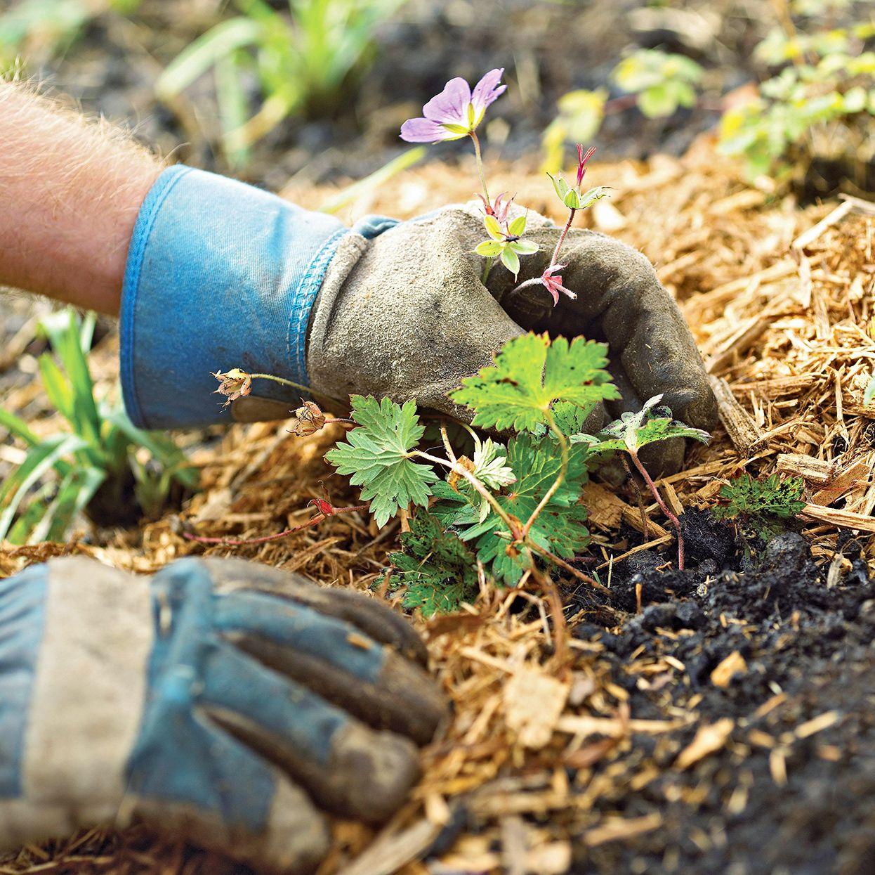 Not Mulching the Soil
