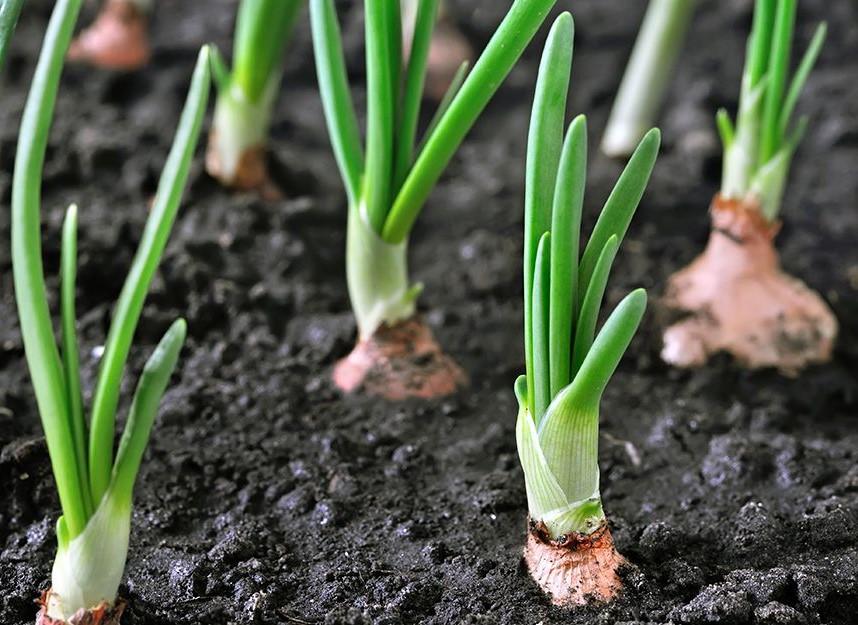 Transplanting the Garlic