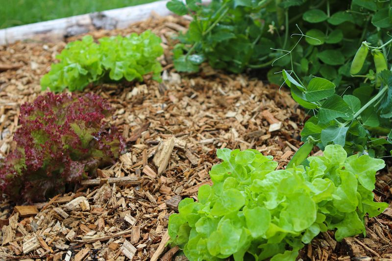 Mulching Soil for Celery Plants