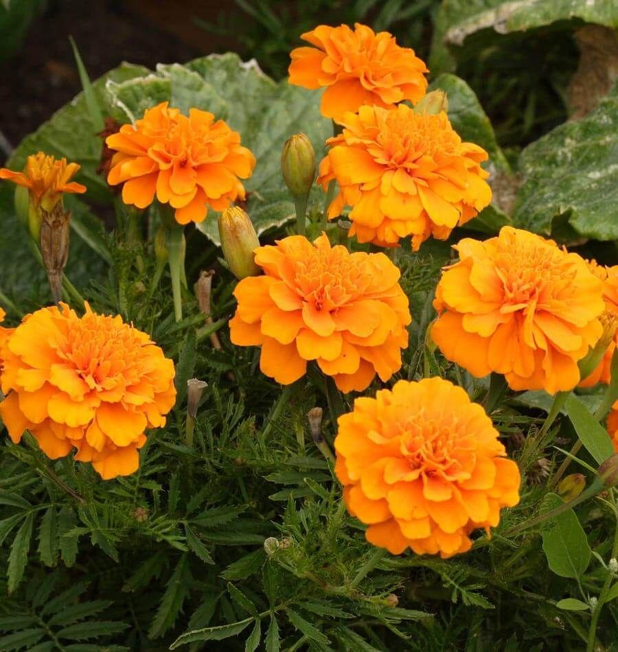 Marigold