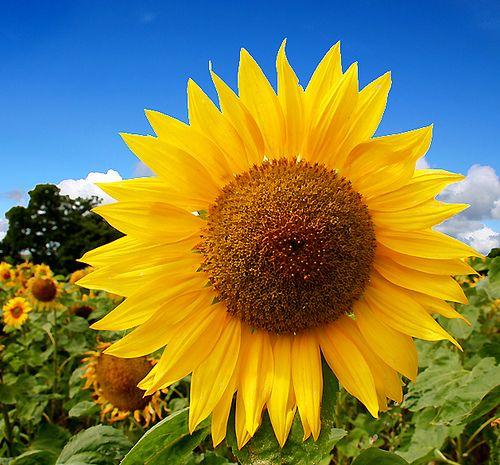 Harvest Sunflowers Seeds