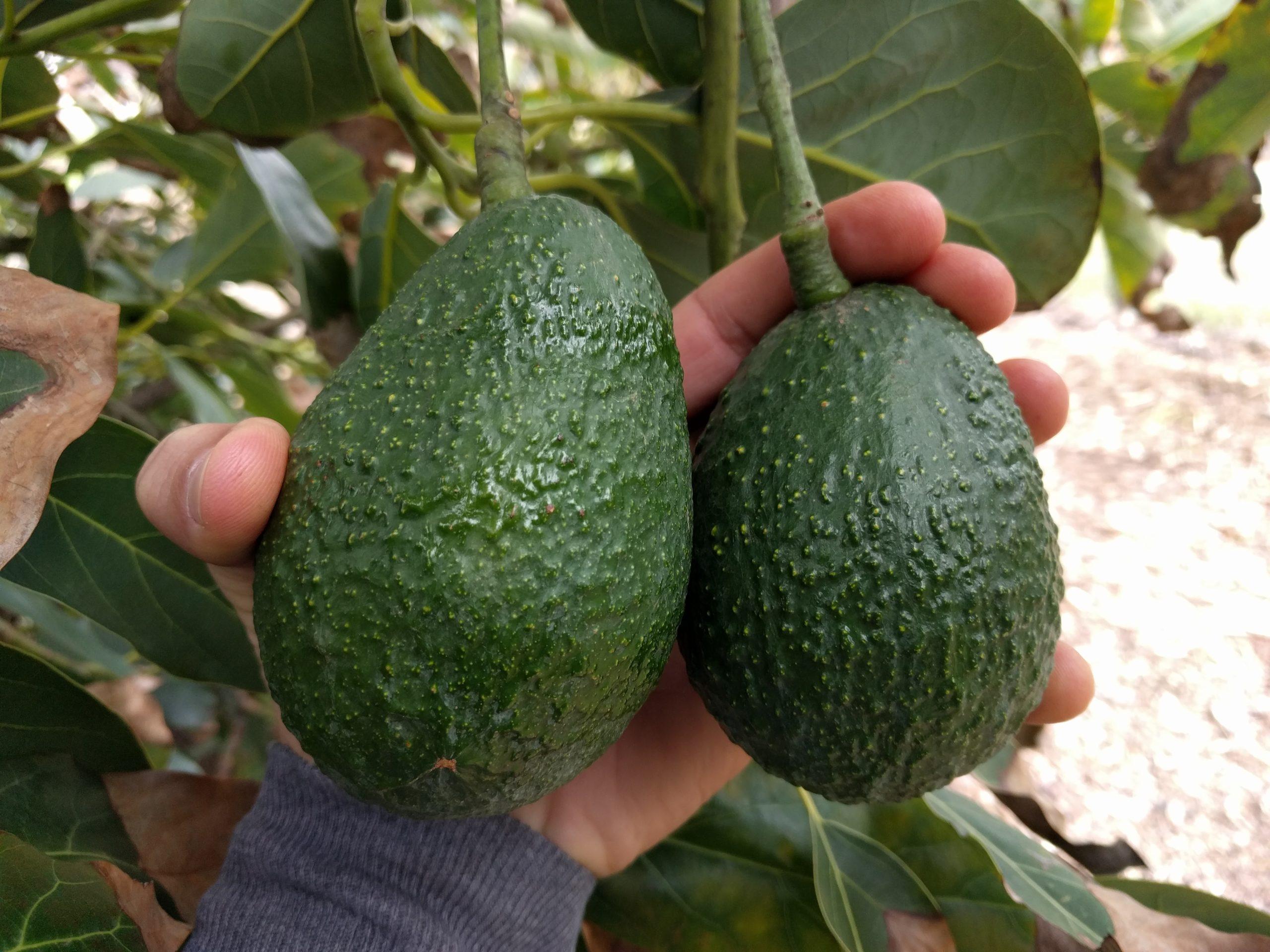 Harvest the Avocado