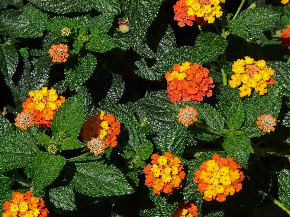 Saliara Flower