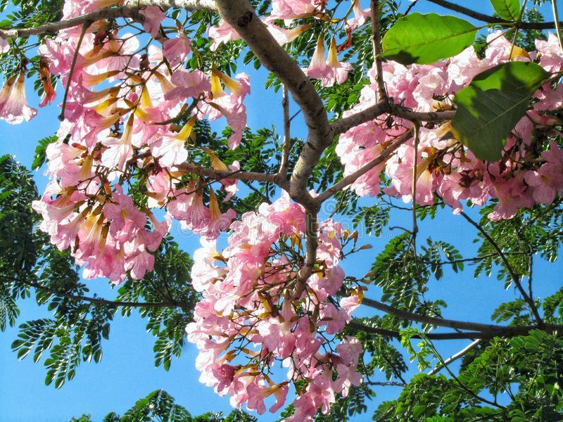 Tabebuya Flower